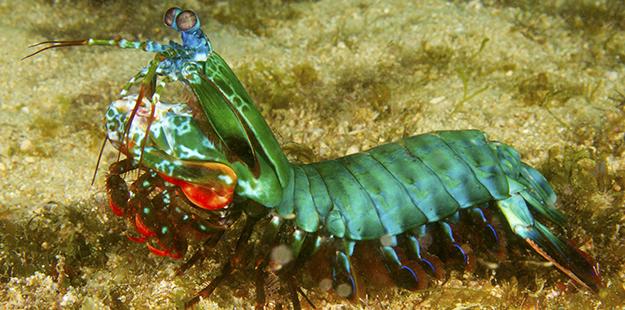 Peacock mantis_WS