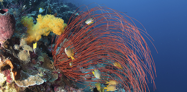 Sea whips play host to a variety of mussels, snails, shrimp and crabs. Photo by Walt Stearns