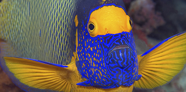 Blueface angelfish_ Mark Goyen
