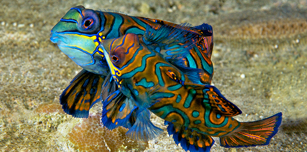 During dusk dives on the site known as Magic Pier, divers witness hundreds of brilliant Mandarinfish performing their mating ritual. Photo by Steve Rosenberg
