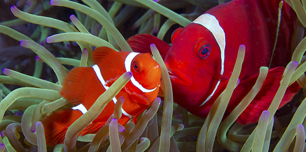 More than half of the 25 listed species of anemonefish in the Indo-pacific are found in Wakatobi's waters. Theses spinecheek were photographed a few yards from Wakatobi's jetty. Photo by Walt Stearns