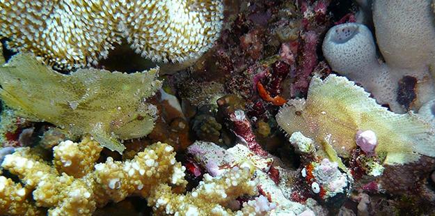 2 leaf scorpionfish_photo WDR