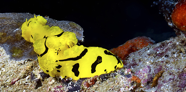 An animal this slow moving would be considered primarily a grazer, however, nudibranchs are carnivores. Photo by Ron Lucas