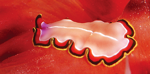Unlike most nudibranchs, flatworms have neither rhinophores nor exposed feathery gills. Photo by Wakatobi Dive Resort