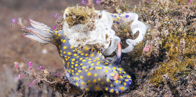 The egg ribbons, or coils of intricate encasing jelly secreted by nudibranchs, can contain up to two million eggs, and are typically laid near a food source. Photo by Walt Stearns
