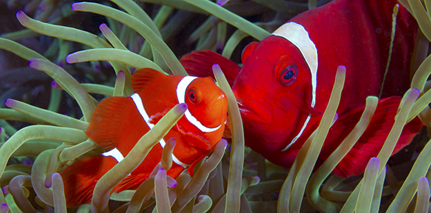 Snorkelers can find at least eight species of clownfish, like these spinecheek anemonefish, around the jetty and Jetty Bar. Photo by Walt Stearns