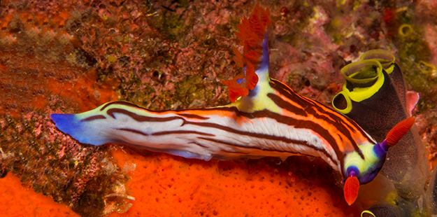 Sporting bright colors and bold patterns to help them stand is actually a nudibranch's survival strategy, the logical equivalent of a HazMat warning sign. Why? A nudibranch will leave a very bad taste in the mouth of it's predator. Photo by Marcus Lindenlaub