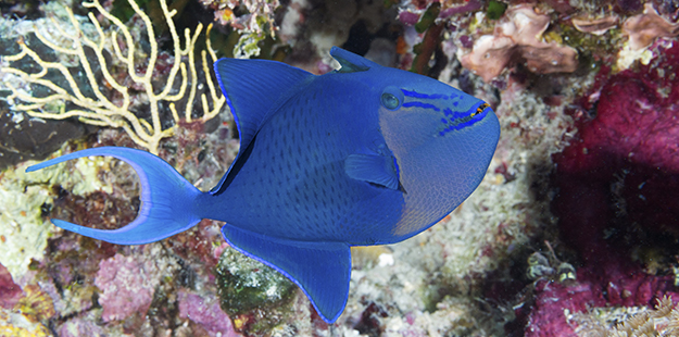 Triggers, like this stunning blue triggerfish, grow tough skins with non-overlapping, diamond-shaped scales that are the biological equivalent of armor plating. Photo by Walt Stearns