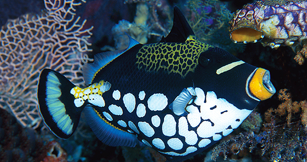 "It's been said the clown triggerfish can be ""as personable as a puppy and as unpredictable as a bull shark."" It's one of the most striking fish roaming Wakatobi's reefs and uses its strong teeth and jaws to break up shells of bottom dwellers such as mollusks and sea urchins to get to the tasty morsels inside. Photo by Doug Richardson"