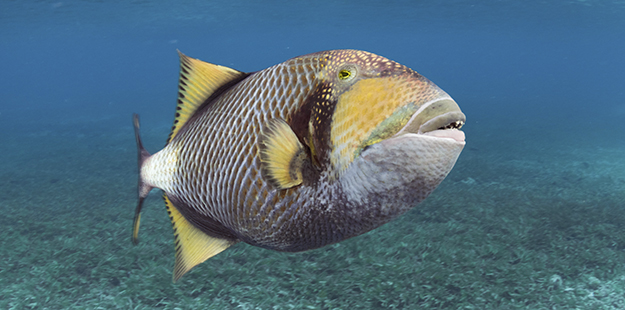 Males such as this Titan triggerfish, the largest of the species, tend to roam further from the nest to provide the first line of defense from anything that would threaten the eggs, including divers and snorkelers. Photo by Walt Stearns