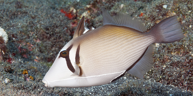 The scythe triggerfish has the ability to rapidly change its scythe-marking, located behind the eye, from a bright yellow- orange to dark brown, and also may darken or lighten the shades of its body color. Photo by Walt Stearns