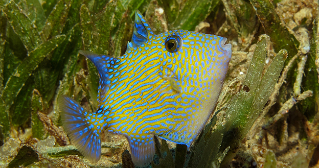 Juveniles like this young Blue triggerfish are typically found inshore in the sea grass or sandy reef patches. Photo by Wakatobi Dive Resort