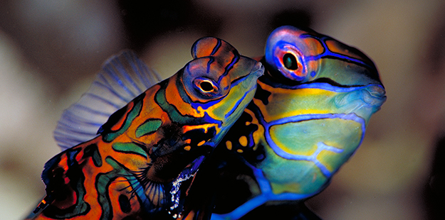 At Magic Pier, pairs of mandarinfish will align themselves belly-to-belly and perform a slow, swirling dance that carries them upward to just a meter above the reef. Photo by Werner Thiele