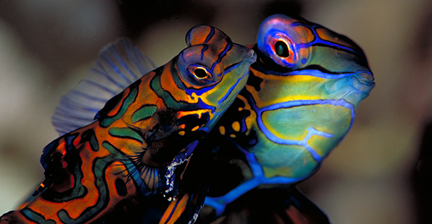 Mandarinfish-at-magic-pier-Werner Thiele