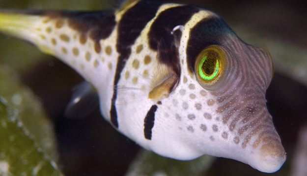 Some puffers have eyes with green iridescent layers, which reflect bright sunlight from above but still allow ambient light from surrounding environment objects to filter in. Photo by Rob Darmanin