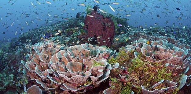 Scroll-corals-Wakatobi_GCA8746