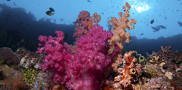 While soft corals don't help to build the rocky structure of the reef, they play an important role in reef ecosystems as hiding places for fish and filters for organic material. Photo by Karin van de Wouw