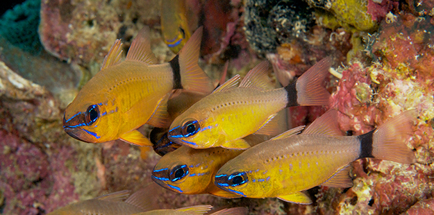 A peek into a dark crevice may reveal a group of ring tailed cardinalfish, hanging in the shadows until the sun goes down. Photo by Steve Rosenberg