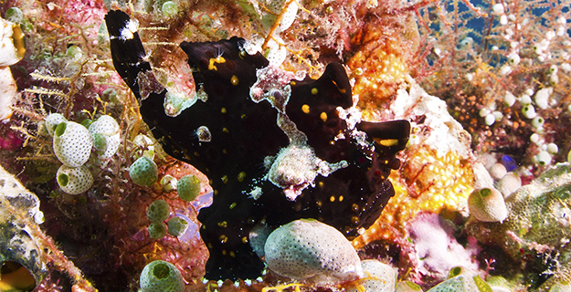 Treasure Chest is one of the best places in the Wakatobi marine preserve to locate a frogfish. Can you see the frogfish here? Photo by Warren Baverstock