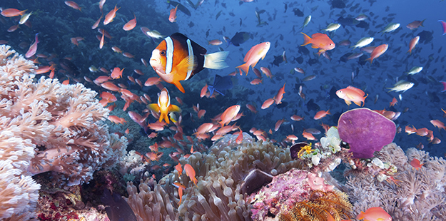 Shallows-Roma-clowns-anthias-Walt Stearns_DSC2309