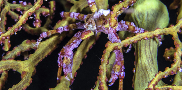 Almost every sea fan plays home to a resident population of spider crabs. Look closely as this crab's carapace is typically shaped and colored to match it's host. Photo by Wayne MacWiliams
