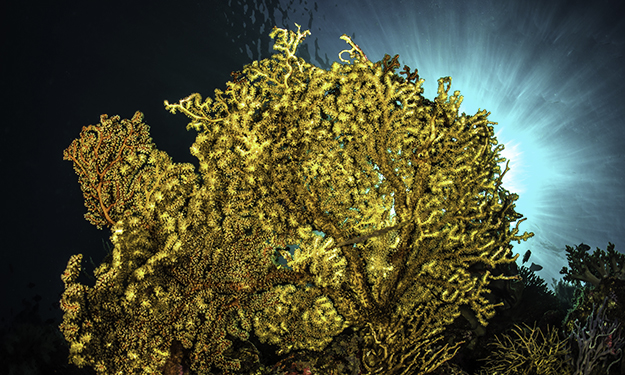Sea fans that are pure filter feeders typically display vivid hues of purple, red, pink, and orange to rich yellows and gold. Photo by Wayne MacWilliams