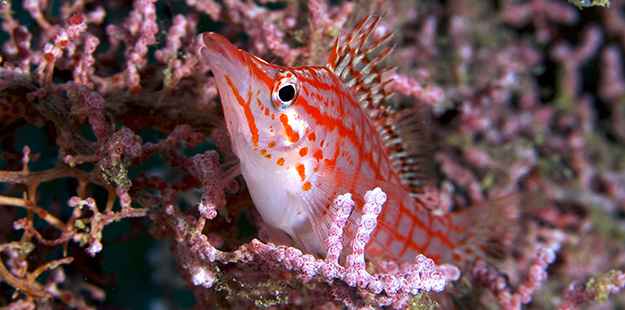 hawkfish-sea-fan-wakatobi-FO