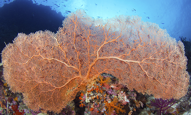 Want to discover something new on the reef? Find a sea fan and look closely, branch by branch. Photo by Walt Stearns