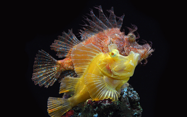 Here are two of the rarest varieties of scorpionfish; a yellow paddle flap rhinopias and a pink weedy rhinopias scorpionfish
