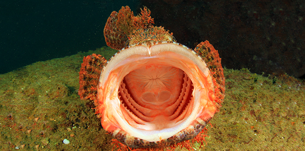 The scorpionfish will inhale their prey whole. In less than a tenth of a second, a scorpionfish can vacuum up a meal half its own size.