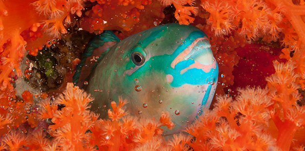 parrotfish-cocoon-wakatobi-resort