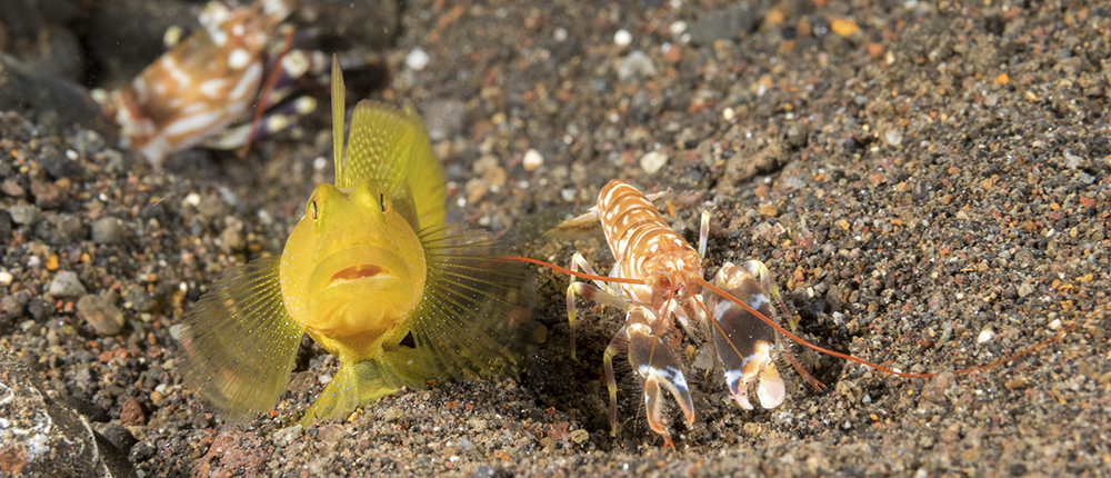 Yellow watchman goby (Cryptocentrus cinctus) and tiger pistol shrimp (Alpheus bellulus).