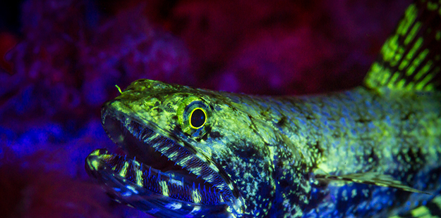 This lizardfish found at Zoo put on quite a colorful light show when illuminated with the special lighting used during a fluo dive.