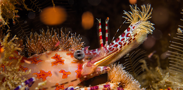 The Saron shrimp undergoes a clever transformation as its body takes on shades of red that blend into the monochromatic shadows of the night.