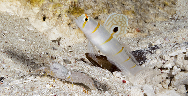 Randall's shrimp goby (Amblyeleotris randalli) usually pair up with Alpheus randalli.