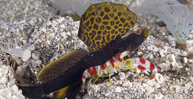shrimp-goby-wakatobi-ws