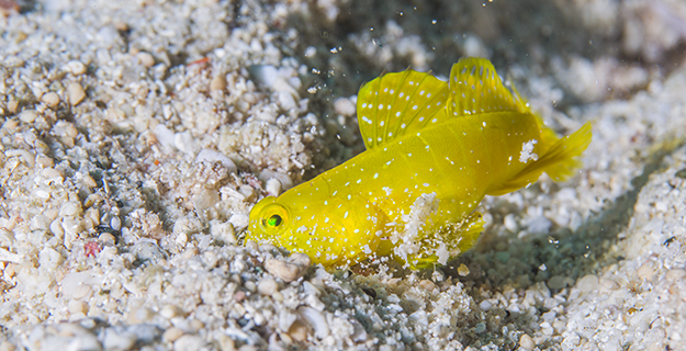 yellow-prawn-goby-darting-hole-song-heming_163337636