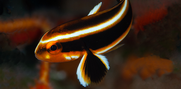 Juvenile sweetlips have an entertaining and erratic swimming style. Photo by Richard Smith