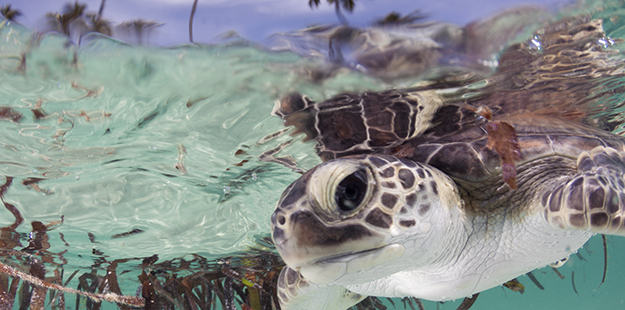 Green turtles start out as carnivores and switch to an exclusively vegetarian diet later in life.