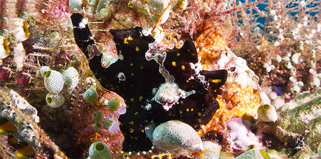 Can you see the frogfish? It's not uncommon to swim right past a frogfish as it hides tucked into a coral ledge.