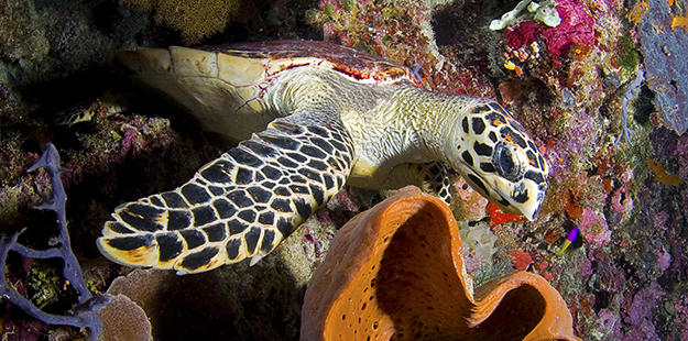 A hawksbill turtle's jaws are shaped to rip and shred sponges, their favorite treat.