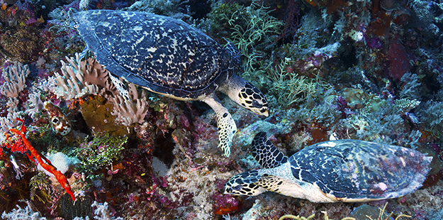 Unlike greens, which have a smoother edge to their shell, hawksbill turtles have a pair of serrated plates at their real, making them easy to identify.