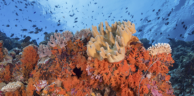 The top portion of the reefs of Karang Kaledupa and Karang Kapota are carpeted with a variety of colorful, healthy hard and soft corals. Photo by Walt Stearns