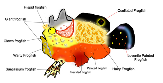 Identifying the more than 15 species of frogfish native to Wakatobi's waters can be a fun challenge.