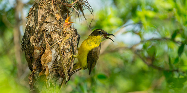 Birdwatchers can discover a variety of species all around the resort, like this nest of Olive-backed sunbirds seen in front of villa three.