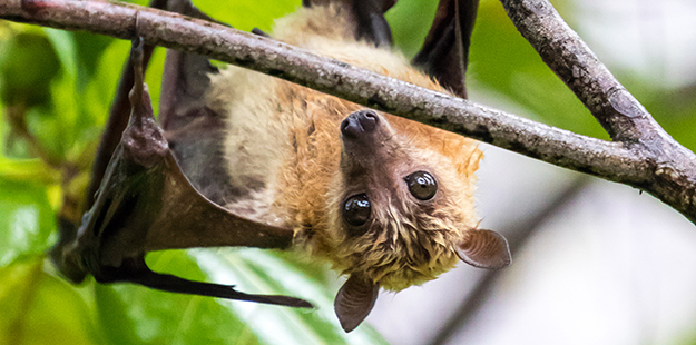 A closer look at tree branches along the trail may reveal a collection of Wakatobi's endemic fruit bats hanging like upside down hood ornaments.