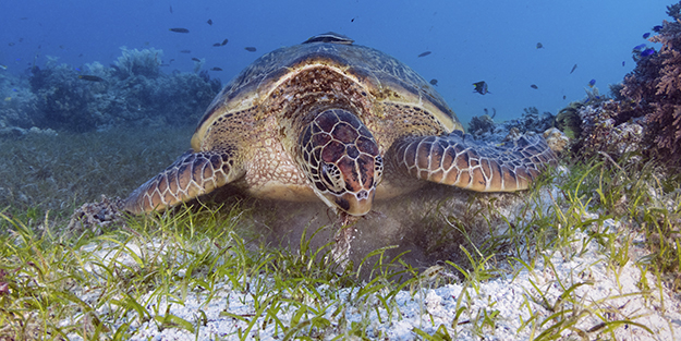 Turtles help to manage seagrass overgrowth, which could block nutrients from reaching the grass roots. Photo by Walt Stearns