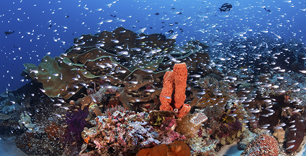 Wakatobi's sites are well-suited for multi-level profiles as the upper slopes of many sites transition to a sandy bay, where divers can discover a great variety of subjects. Photo by Walt Stearns