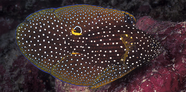 The comet sports a distinctive eyespot at the base of its dorsal fin, but the fish's real eyes blend in with the body coloration.