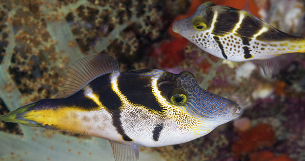 The photographer captured this image thinking both fish were of the same species. Upon closer inspection he realized the fish in the foreground is a mimic filefish, which carries the same markings as the black saddle toby in the background.